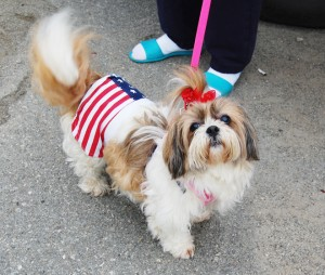 Suki wears this patriotic outfit every Memorial Day and Fourth of July, said her owner, Linda Lyons.  Ms. Lyons and Suki were among those who didn't mind getting a little wet in order to watch the Memorial Day parade in North Troy on Monday.  Photo by Tena Starr