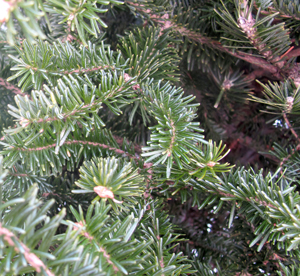 Balsam fir is noted for its shorter, flatter needles.