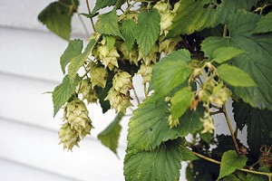 Local hops cones growing at Parker Pie in West Glover.  Photos by Aaron Dentel-Post
